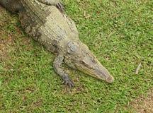 Crocodile resting Stock Image