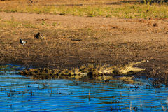 Crocodile resting and cooling riverfront Chobe Botswana Africa Stock Image