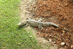 Crocodile resting Stock Images