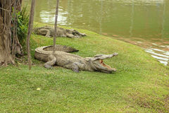 Crocodile resting Stock Photos