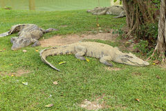 Crocodile resting Royalty Free Stock Image