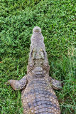 Crocodile resting on the grass. Royalty Free Stock Image