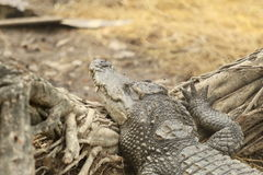 Crocodile resting on ground Royalty Free Stock Photo