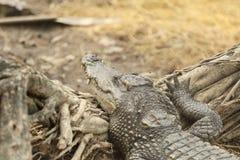 Crocodile resting on ground Royalty Free Stock Photo