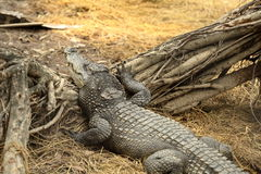 Crocodile resting on ground Royalty Free Stock Photography