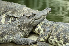 Crocodile resting on ground Royalty Free Stock Images
