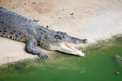 Crocodile resting. Stock Photography