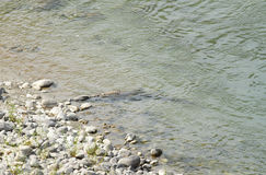 A crocodile resting in Ramganga river Royalty Free Stock Image