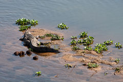 Crocodile resting on the river bank Stock Images