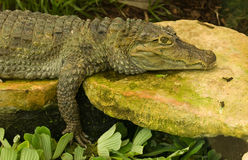 Crocodile resting on rock Royalty Free Stock Image