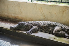 Crocodile Resting in Sanctuary Royalty Free Stock Images