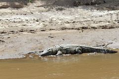 A crocodile resting on the sand of Mara river Stock Images