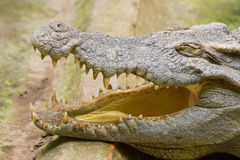 Crocodile resting in the sun Royalty Free Stock Images