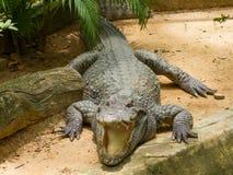 Crocodile resting in the sun Stock Image