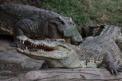 Crocodile resting on the timber Royalty Free Stock Photos