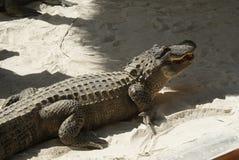 Crocodile. Stock Images