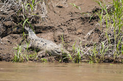 Crocodile in a river Stock Images