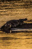 Crocodile in a river Stock Photography