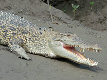Crocodile on the river bank Stock Photos