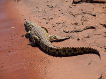 Crocodile on river bank Stock Image