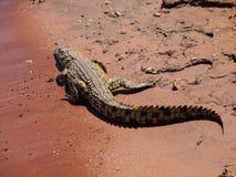 Crocodile on river bank. (Chobe Riverfront, Botswana stock image