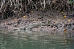 Crocodile on river bank Royalty Free Stock Image