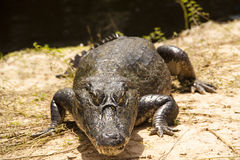Crocodile at the river. Cayman at the side of a river in the Pantanal, Brazil Stock Photography
