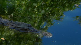 Crocodile in a river of a natural park. Crocodile or alligator in a river of a natural park or zoo stock video