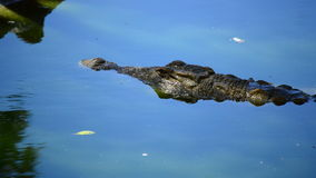 Crocodile in a river in a natural park. Crocodiles or alligators in a river of a natural park or zoo stock video