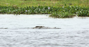 Crocodile in the river Nile Royalty Free Stock Photography
