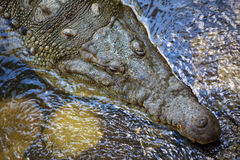 Crocodile. In river on the rain forest Stock Photos