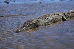 Crocodile river tour on the Tarcoles River Royalty Free Stock Photography