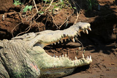 Crocodile river tour on the Tarcoles River Stock Photography