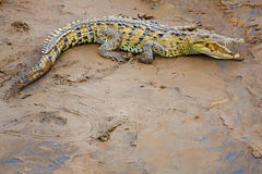 Crocodile at the riverbank Stock Images