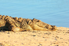Crocodile on riverbank Royalty Free Stock Photography