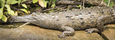 Crocodile On Riverbank. Closeup of crocodile on riverbank in Mexico Stock Images