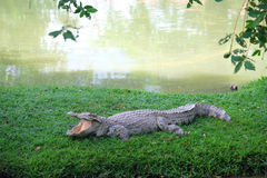 Crocodile on riverside Stock Photography