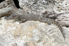 Crocodile on a rock at Giron Stock Photos