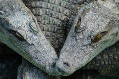 The crocodile's Stock Photo
