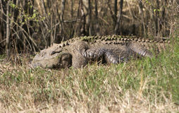 Crocodile s'exposant au soleil Photographie stock