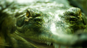 Crocodile's eyes Stock Photos