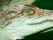 Crocodile`s head Royalty Free Stock Images