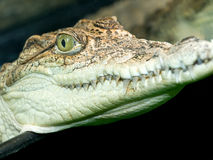 Crocodile`s head Stock Photos