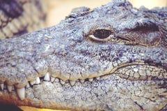 Crocodile's muzzle Stock Image