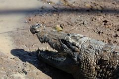 Crocodile sacré, Burkina Faso photo libre de droits