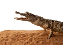 Crocodile on the Sand Royalty Free Stock Photo