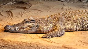 Crocodile on Sand Royalty Free Stock Images