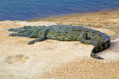 Crocodile on sandbank in Swaziland/Eswatini stock image