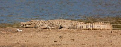 Crocodile at Sariska Tiger Reserve, India. The Crocodilia or Crocodylia is an order of mostly large, predatory, semiaquatic reptiles, known as crocodilians Royalty Free Stock Image