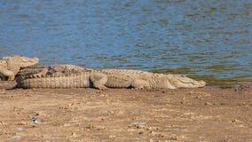 Crocodile at Sariska Tiger Reserve, India. The Crocodilia or Crocodylia is an order of mostly large, predatory, semiaquatic reptiles, known as crocodilians Stock Photography